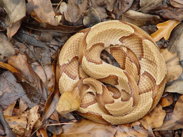 Image result for Copperhead