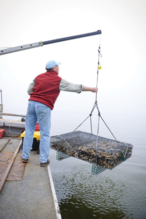 Petty raises a cage filled with hundreds of oysters. Photo by Laura-Chase McGehee