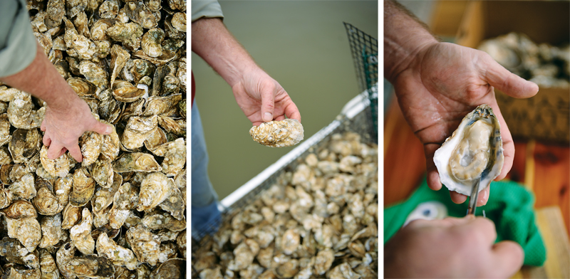 Grabbing a handful of the mollusks, Petty pries one open for a quick taste on the dock. Photos by Laura-Chase McGehee